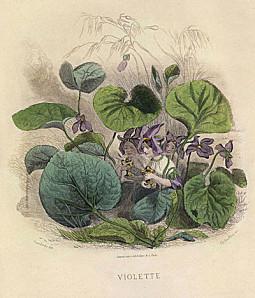 Violettes animées