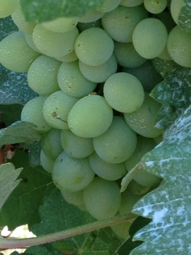 Torrechiara grapes. Parma food tour